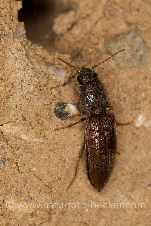 Gelbbrauner Schnellkäfer, Brauner Schnellkäfer, Agriotes sputator, Common Click Beetle, Elateridae