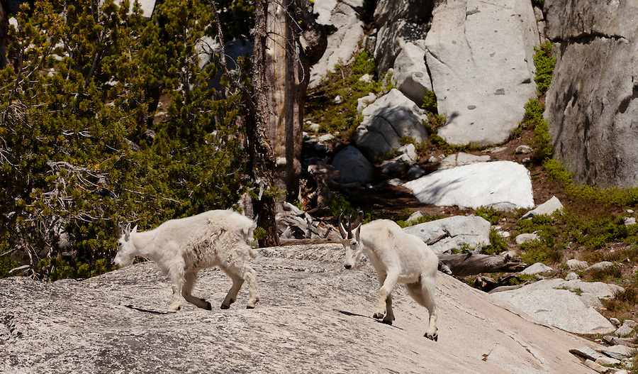 Two mountain goats walk atop a rock in the Enchantments.