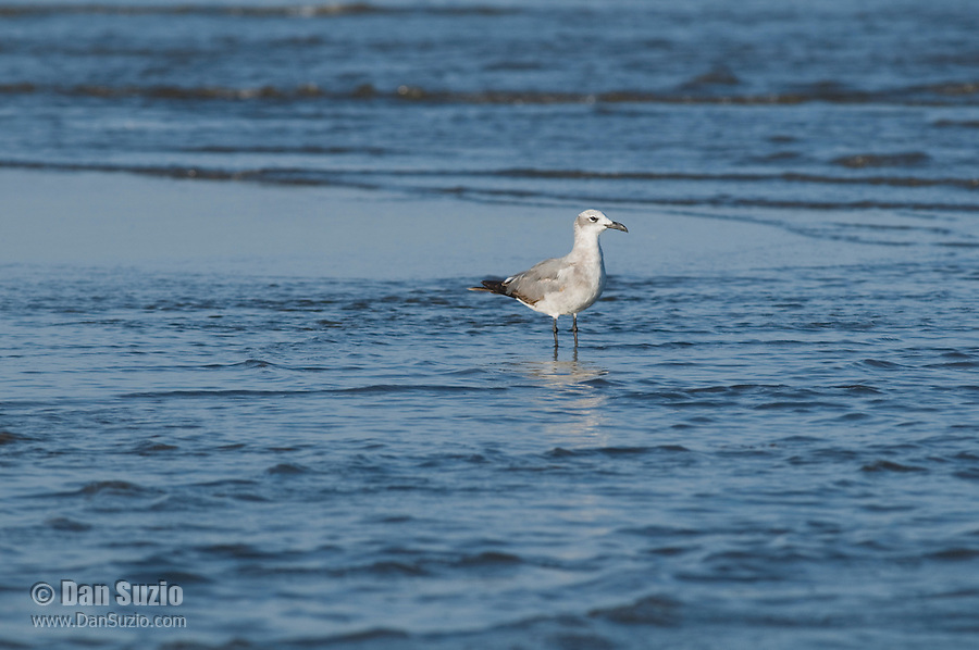 Laughing gull, Larus atricilla, at the mouth of the Tarcoles River, Costa Rica