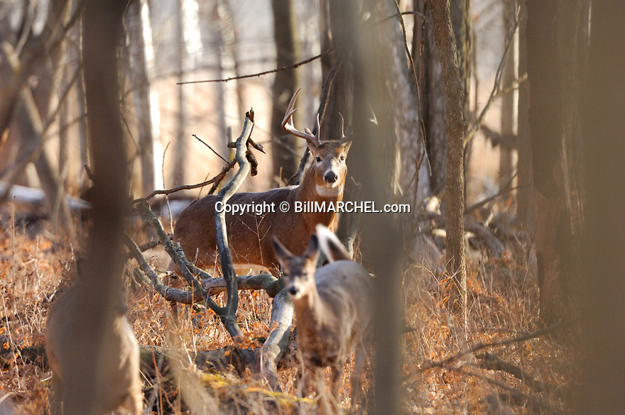 00274-311.18 White-tailed Deer Buck (DIGITAL) is guarding doe in hardwood forest during fall rut.  Hunting, breed, oak, antlers.  H4E1
