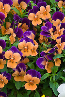 Viola 'Sorbet Orange Duet' pansies