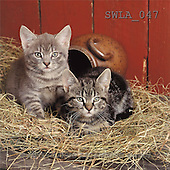 Carl, ANIMALS, photos(SWLA047,#A#) Katzen, gatos