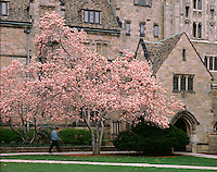 magnolia at Branford College, Yale University, New Haven, CT
