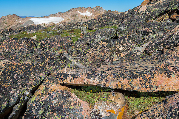American pika (Ochotona princeps) at one of its haypiles where it is collecting/caching food for winter use.  Beartooth Mountains, Wyoming/Montana.  Summer.  This photo was taken in alpine setting at around 11,000 feet (3350 meters) elevation.