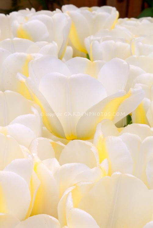 Tulipa 'Angel's Dream' (white tulips) glowing
