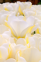 Tulipa 'Angel's Dream' (white tulips) glowing