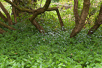 Groundcover Vinca major under trees