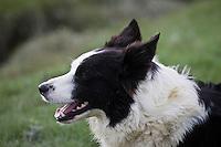 Europe/France/Picardie/80/Somme/Baie de Somme/ Env Le Crotoy: Elevage de moutons de prés salés de la baie de Somme de François Bizet éleveur à Ponthoile-Belle la chienne border collie du berger Rolland