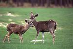 Mule deer doe grooming fawn