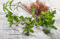 Echtes Mädesüß, Mädesüss, junge Blätter vor der Blüte und Wurzel, Wurzeln, Filipendula ulmaria, Meadow Sweet, Quenn of the Meadow, Reine des prés