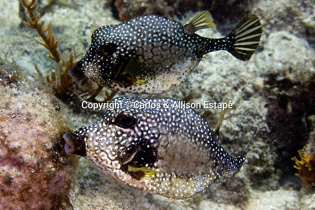 Lactophrys triqueter, Smooth trunkfish, Florida Keys