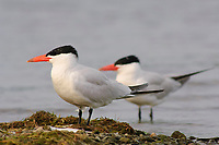 Adult Caspian Terns (Sterna caspia) in late breeding plumage. Tompkins County, New York. August.