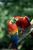 Amazon forest, Brazil. Two red, yellow and blue macaws (Ara macao) perched on a branch.