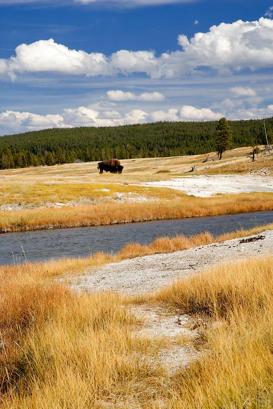 Nez Perce River with Buffalo. Yellowstone National Park, WY