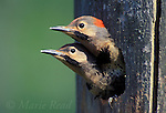 Northern Flicker (Colaptes auratus), yellow-shafted form, two nestlings near fledging age look out of their nest hole, New York, USA<br /> Slide # B96-132