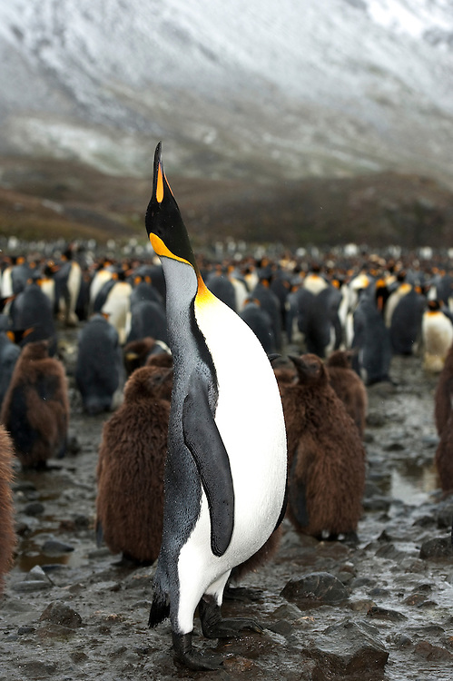 A male King penguin (Aptenodytes patagonicus), calls out with a mating call amongst a large King Penguin colony, Fortuna Bay, South Georgia