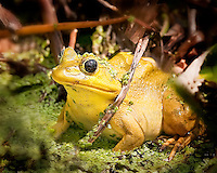 A very yellow Pigfrog sitting in duckweed in Florida