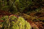 Yellow-eyed Ensatina (Ensatina eschscholtzii xanthoptica) male salamander in Coast Redwood (Sequoia sempervirens) forest, Muir Woods National Monument, California