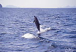 bottlenose dolphin jumping by wake, Gulf of California
