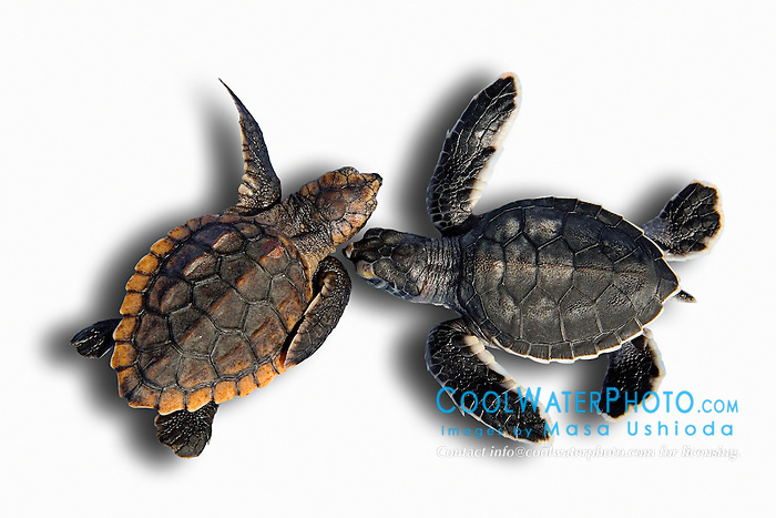 loggerhead turtle hatchling, Caretta caretta, and green sea turtle hatchling, Chelonia mydas, endangered species, Grand Bahama, Bahamas, captive