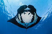 manta ray, Manta birostris, with remoras, suckerfish, Remora remora, San Benedicto, Revillagigedo (Socorro) Islands, Mexico, East Pacific Ocean