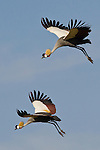 A pair of crowned cranes in flight in the Ngorongoro Crater in Tanzania.