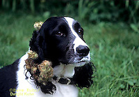 BD05-005z  Burdocks - burdock seeds on dog, seed dispersal - Arctium minus  ©David Kuhn/Dwight Kuhn