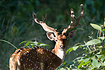 Spotted Deer or Chital, stag, Axis axis, Bandhavgarh National Park, male.India....