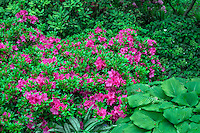 ORPTC_D218 - USA, Oregon, Portland, Crystal Springs Rhododendron Garden, Pink blossoms of azaleas in bloom and large leaves of hosta.