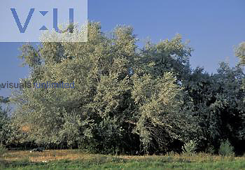Russian Olive Tree ,Elaeagnus angustifolia,, North America.