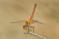 362700018 a wild male band-winged meadowhawk dragonfly  sympetrum semicintum perches on a dead stick in the obelisk position along jean leblanc canal north of bishop mono county califorina united states