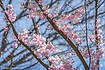 Cherry blossoms in Cambridge, Massachusetts, USA