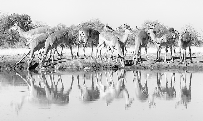 A small herd of impalas came to drink at the Mashatu hide.<br /> <br /> This image is also available in color.