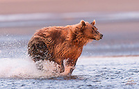 Brown Bear (Ursus arctos) chases Salmon in the morning light, Cook Inlet, Alaska.