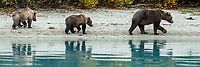 Fall landscape of grizzly bear sow and cubs walking on shore with reflection at Crescent Lake in Lake Clark National Park, Alaska<br /> <br /> Photo by Jeff Schultz/SchultzPhoto.com  (C) 2018  ALL RIGHTS RESERVED<br /> <br /> 2018 Bears, Glaciers and Fall Colors Photo tour/workshop