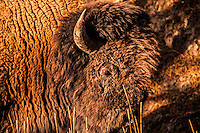 Bison in the Sun