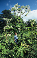 GIANT HOGWEED Heracleum mantegazzianum (Apiaceae) Height to 4m. Huge and impressive biennial or perennial whose size alone makes it unmistakable. Stems are hollow, ridged and purple-spotted. Whole plant causes blisters if touched in sunlight. Favours damp ground and often found beside rivers. FLOWERS are white and borne in umbels up to 50cm across (Jun-Jul). FRUITS are flattened and narrowly oval. LEAVES are pinnate and up to 1m long. STATUS-Introduced and naturalised locally.