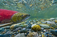 Female red salmon in a small stream in the Alaska mountains.