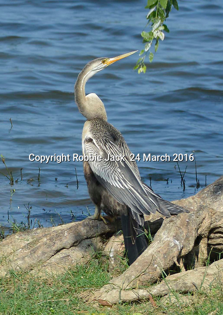 Yala National Park Sri Lanka<br /> Oriental Darter