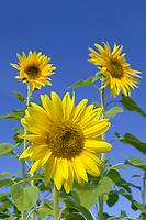 Sunflower, Fairbanks, Alaska