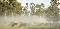 Misty morning on farm with cows near Whataroa, South Westland, New Zealand, NZ