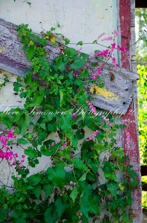 Flowering vine growing on an old building in Esperanza Vieques.Puerto Rico