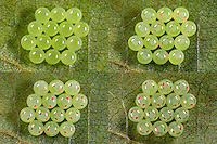 Grüne Stinkwanze, Eigelege, Eier, Ei, Entwicklungsreihe, Entwicklung der Larven, Nymphen im Ei ist durch die durchscheinenden Augen sichtbar, Palomena prasina, common green shield bug, stink bug, eggs, egg, Baumwanzen, Pentatomidae, stink bugs