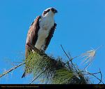 Osprey, Ding Darling Wildlife Refuge, Sanibel Island, Florida