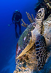 Hawksbill turtle: Eretmochelys imbricata, resting on a reef outcrop, with rebreather diver looking on, Solomon Islands
