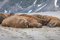 Atlantic walruses, Odobenus rosmarus rosmarus, colony, Magdalenen Fjord, Svalbard, Arctic, Norway, Europe
