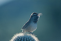 Cactus Wren, Campylorhynchus brunneicapillus,adult singing on Saguaro cactus, Tucson, Arizona, USA, January 1995