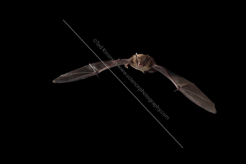 Little Brown Bat (Myotis lucifugus) captured in flight. These bats begin to fly just about sunset each night.  During the winter moths the little brown bat will fly to a cave to hibernate for the winter.  These bats also consume a huge amount of insects every night. Theses bats fly with their mouths open as they make the ultrasonic sounds used for feeding with their mouths.