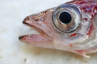 Close up of head of  Blue whiting Micromesistius poutassou Norwegian sea North East Atlantic.