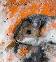 MU59-525z  Deer Mouse on Pumpkin, Pumpkin decomposing from molds, Peromyscus maniculatus